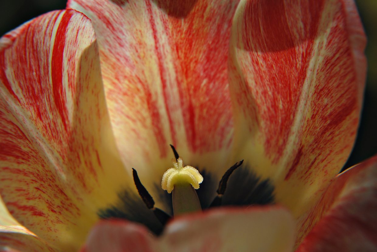 Tulip from the Yampa River Botanic Park. Submitted by: Jeff Hall