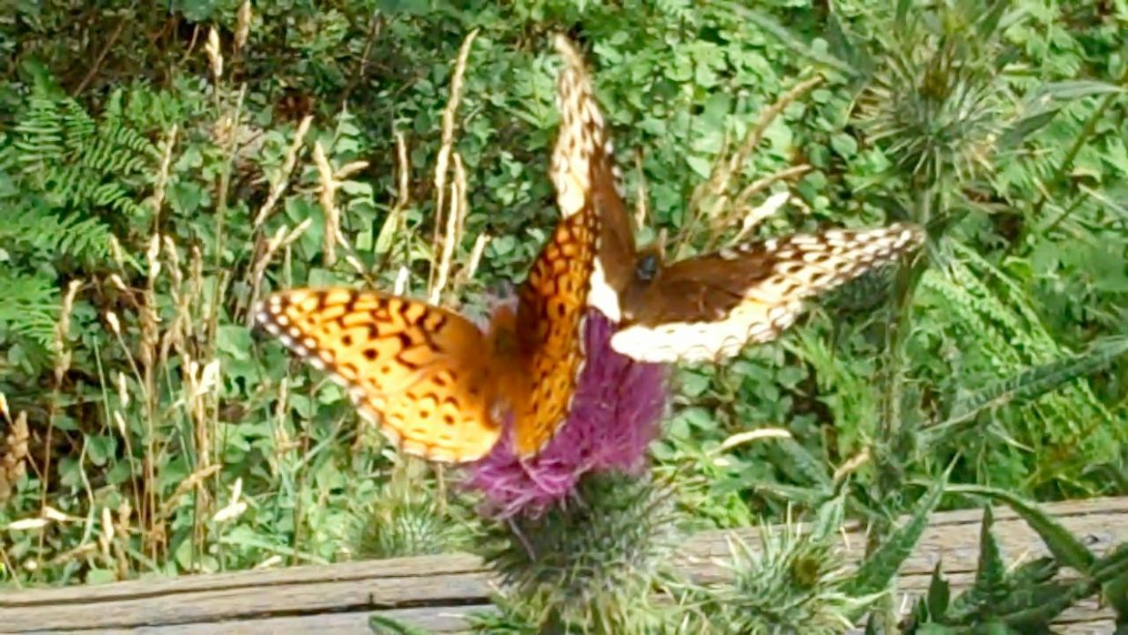 Butterfly duo on thistle. Submitted by: Shelly
