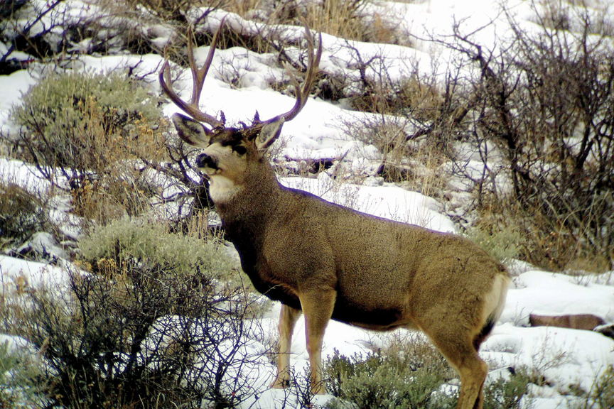 Diminishing herd: The White River deer herd has declined as much as 40 percent since 2003.