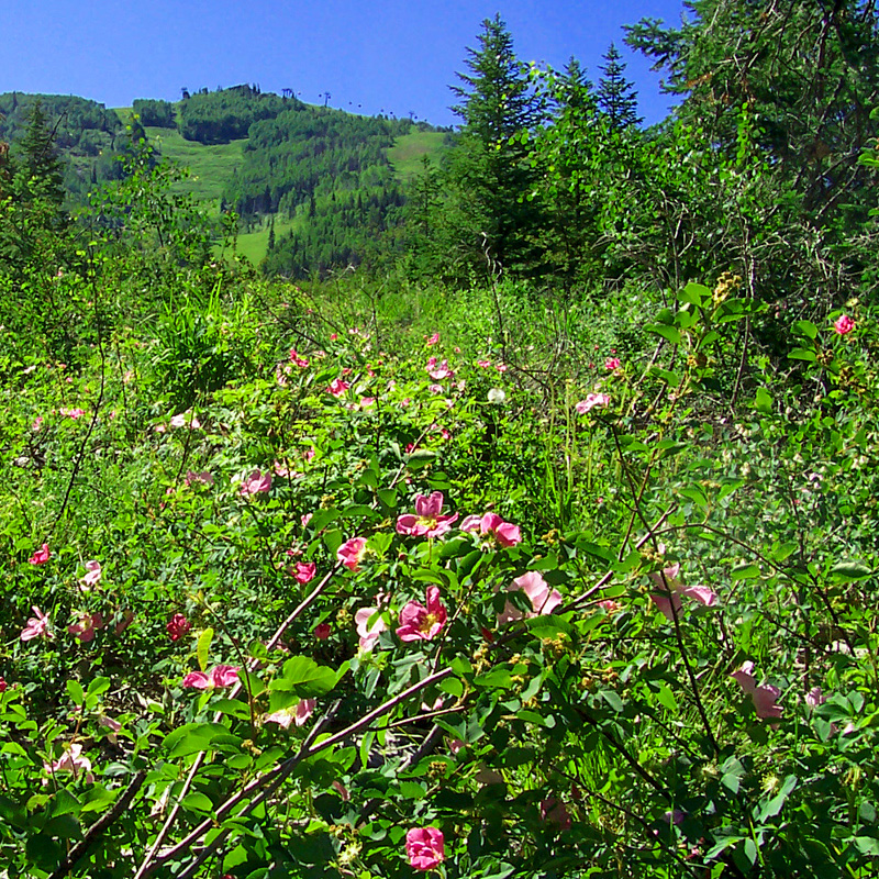 Wild roses on a Mount Werner trail. Submitted by: G. Fredric Reynolds