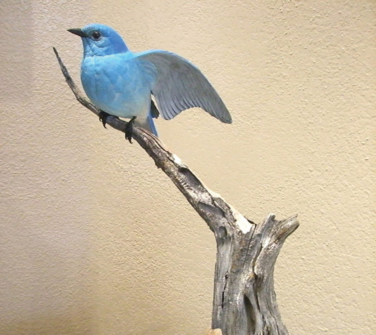 """""""Mountain Bluebird on a Bristle Cone Pine"""" by Don Van Horn; the artist's wooden carved birds are featured in September at Wild Horse Gallery. The gallery hosts a reception for featured artists from 5 to 8 p.m. today as part of First Friday Artwalk."""