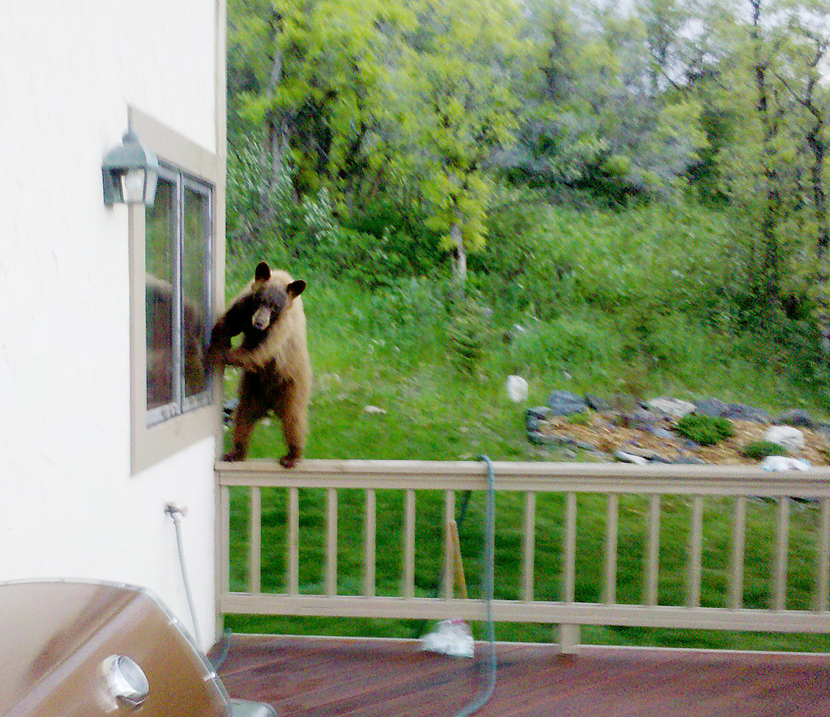 A bear cub returns June 9 to the kitchen window where it gained entry to the Arlene and Mike Zopf home in Dakota Ridge. This time the window was locked.