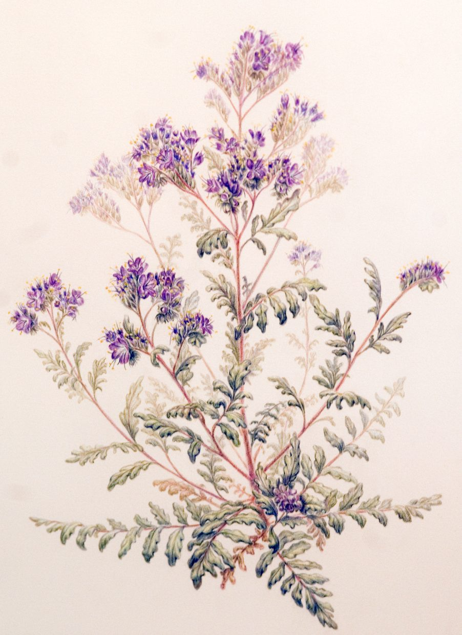"""A piece from """"RARE: Imperiled Plants of Colorado,"""" on display through Sept. 30 at Steamboat Art Museum. The show is a series of illustrations by the Rocky Mountain Society of Botanical Artists, and is a project of the Colorado Rare Plant Initiative. A First Friday Artwalk reception for the show from 5 to 8 p.m. today features live music by cellist John Sant'Ambrogio."""