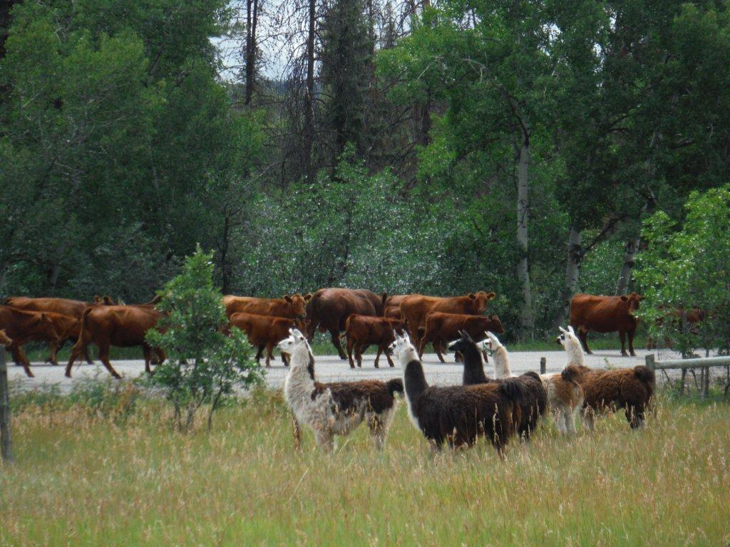 Llamas watching a passing cattle drive on Seedhouse Road on Monday in Clark. Submitted by: Diane White-Crane