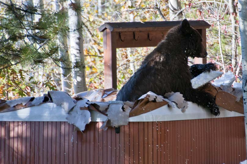 A black bear scrubbing up before his long winter's nap in our neighbors hot tub. Submitted 10/25/2010 by DeeDee and Bing Rikkers.