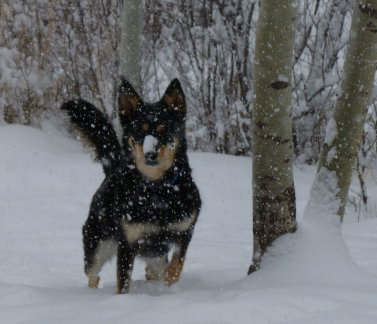 Casper enjoying the fresh powder. Photo submitted by Allison Keating