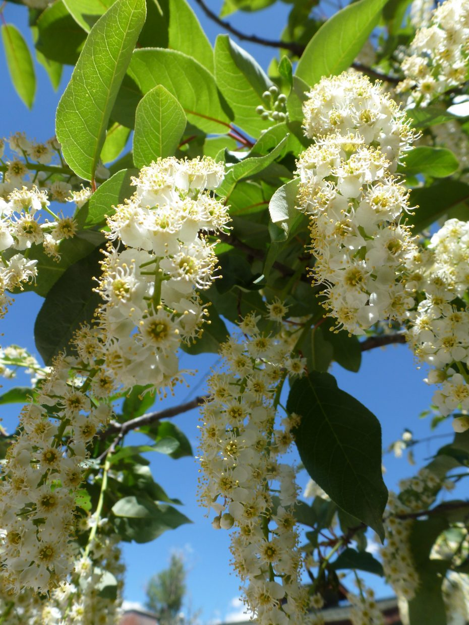 Chokecherry blossoms. Submitted by: Gail Hanley