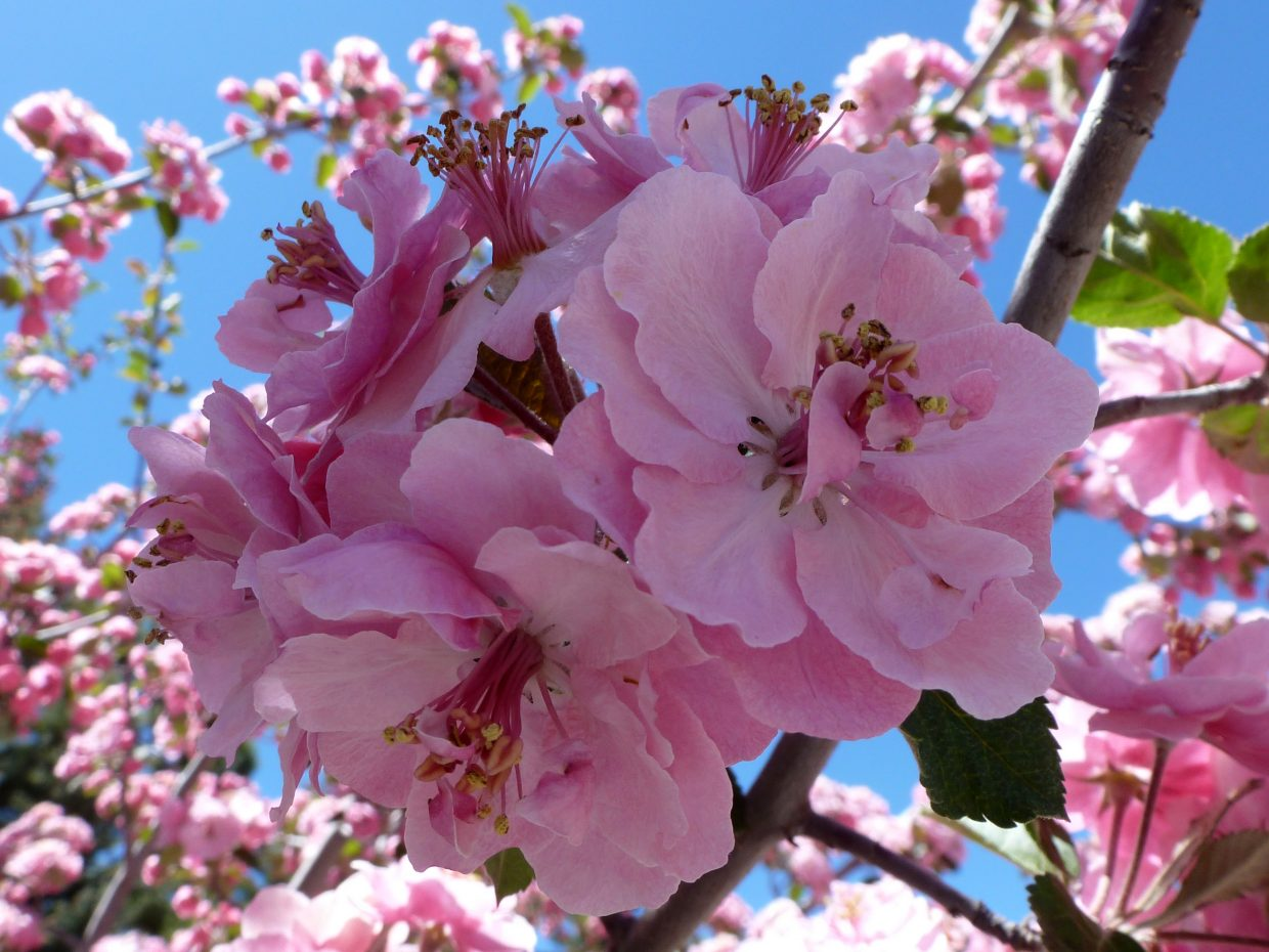 Crabapple blossoms. Submitted by: Gail Hanley