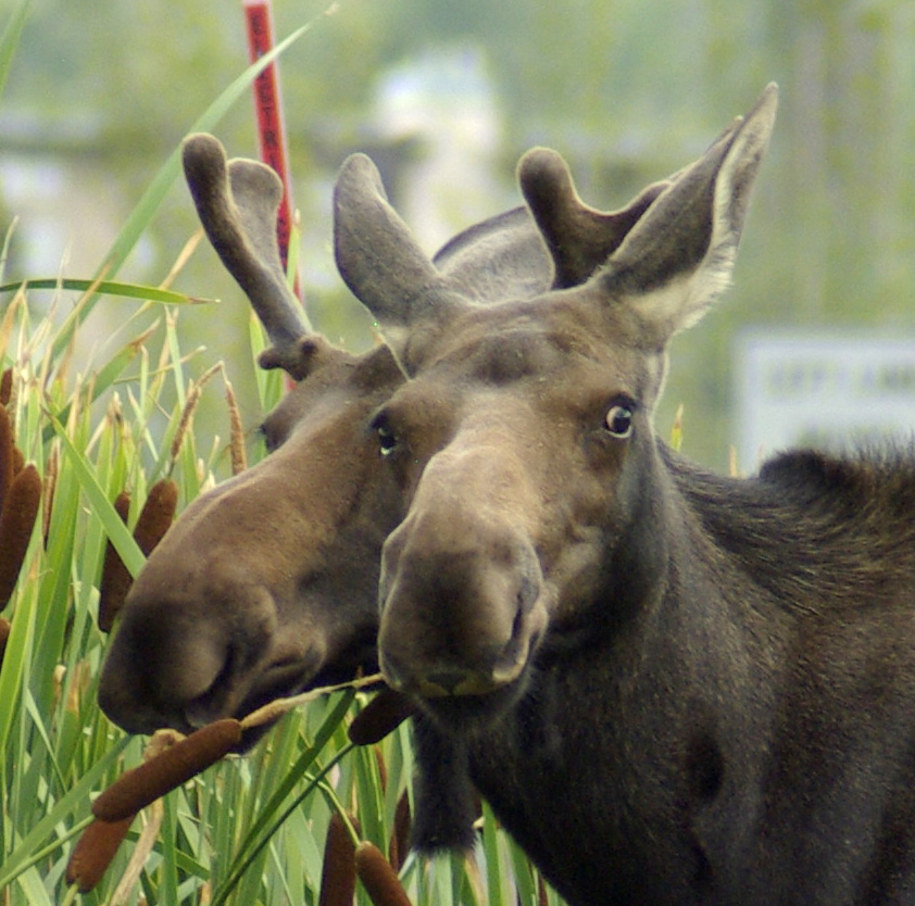 Two headed Steamboat Moose? Submitted by: Dave Peregoy