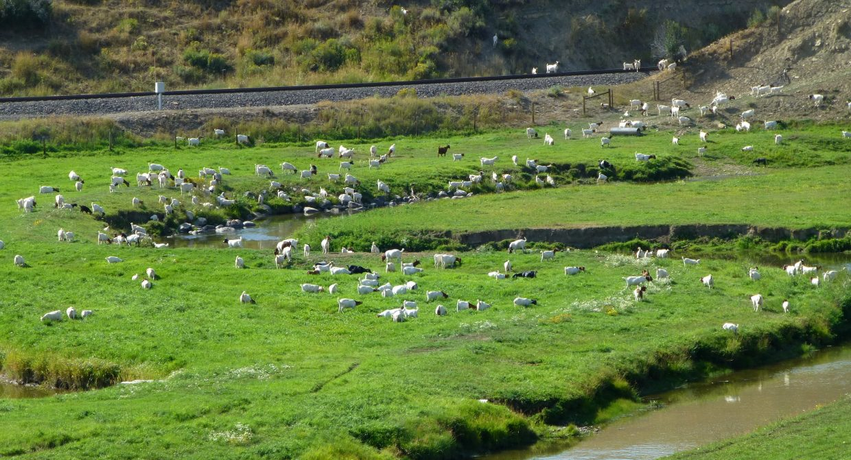 Field of goats. Submitted by: Gail Hanley