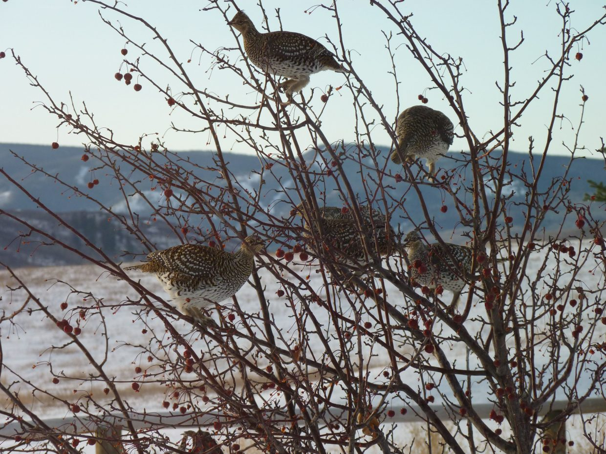 Grouse eating crab apples from our tree on Nov. 14 on Homestead Lane off Routt County Road 14D. Submitted by: George Dalrymple