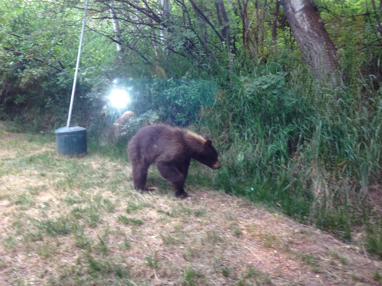 Bear on Tree Haus mountain this morning. Submitted by: Angie Bunch
