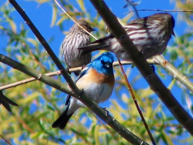 Lazuli Bunting waiting for its turn at the feeder. Submitted by: Donita Morava