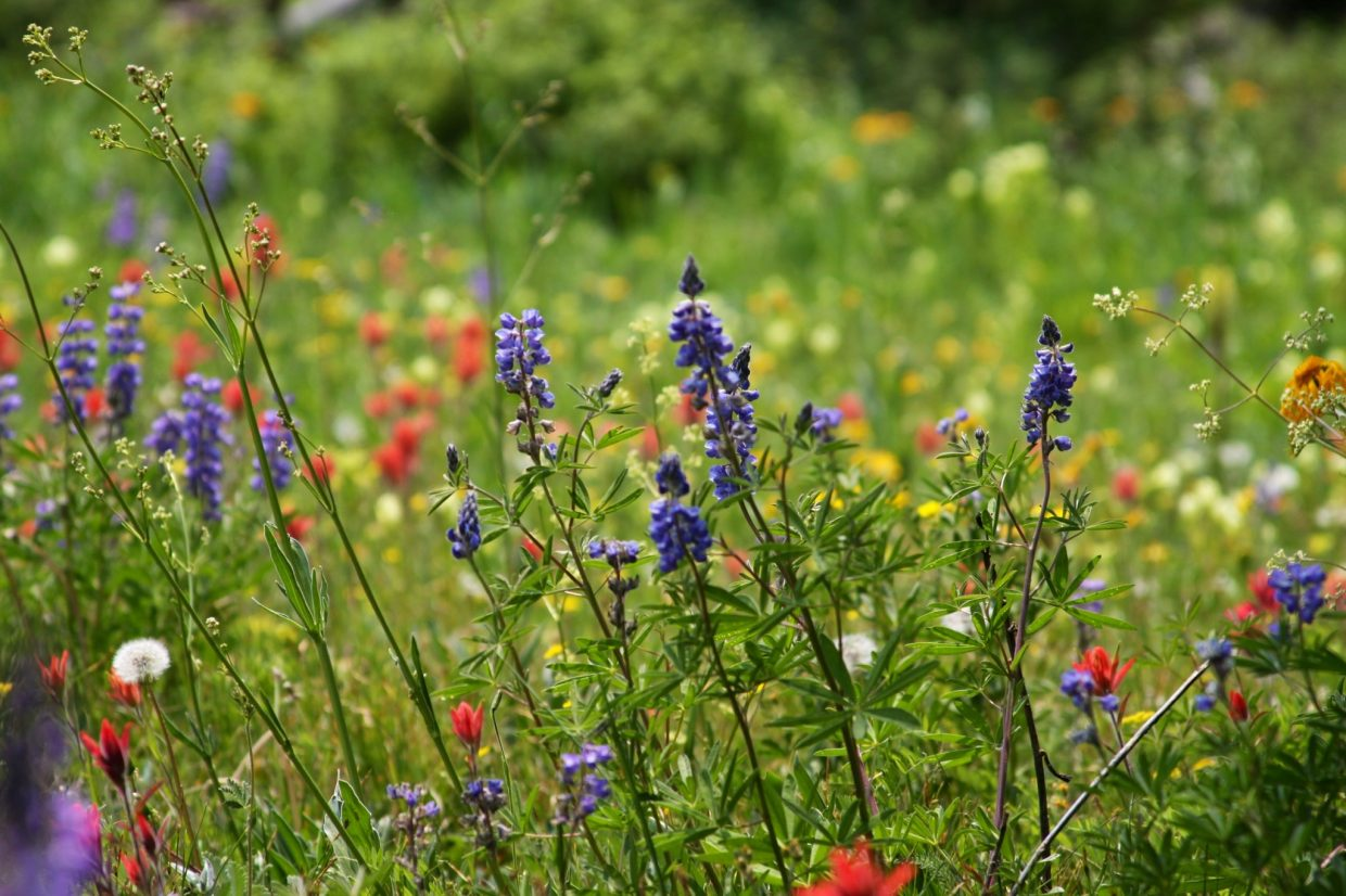 Wildflowers along the Smith Lake trail (Trail 1194). Submitted by: Scott Kragerud