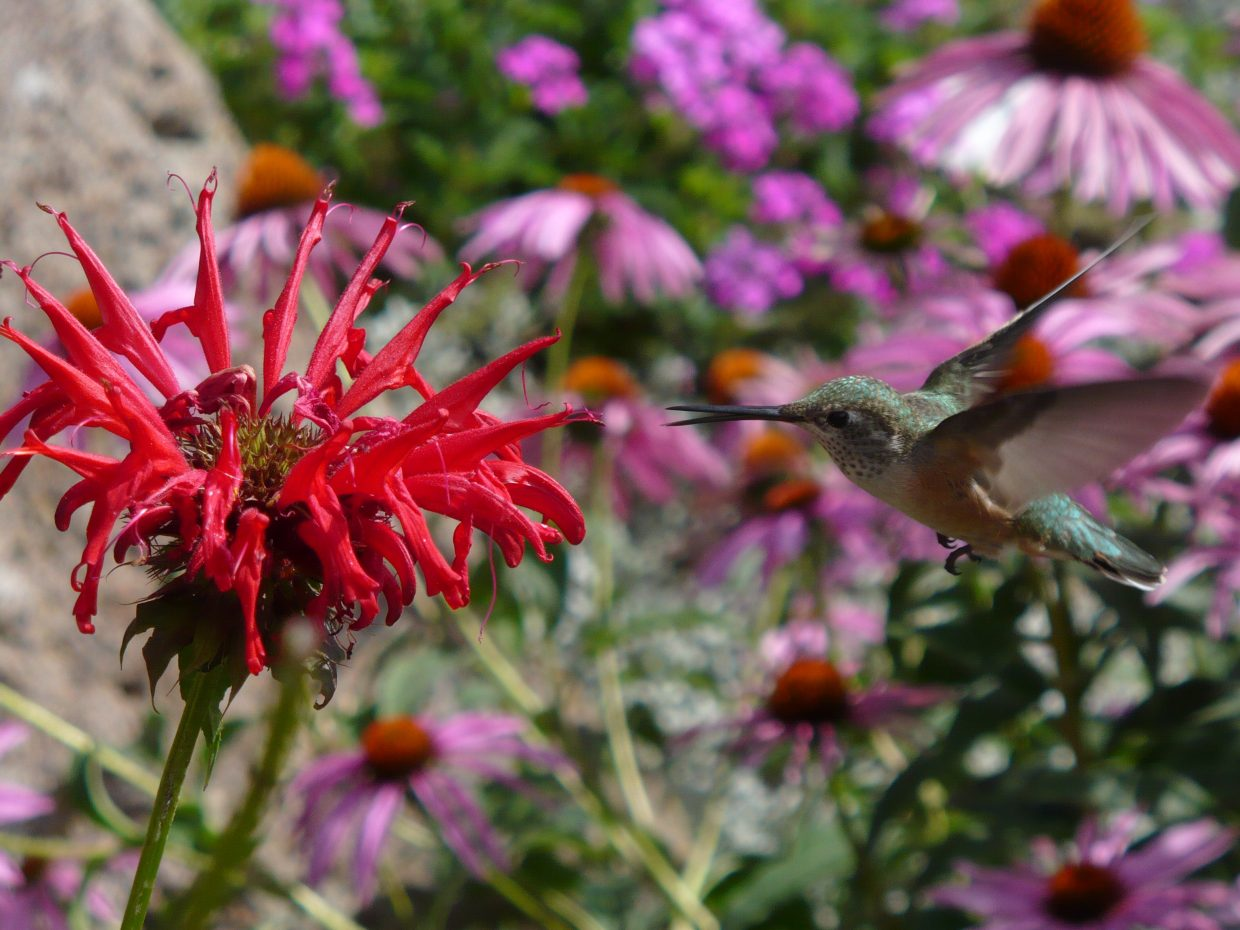 Hungry Hummingbird. Submitted by: Lauren Ehrlich