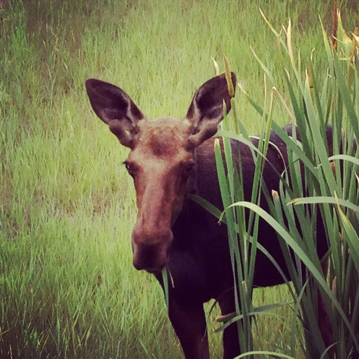 Moose on the loose! Submitted by: Tiffany Floss