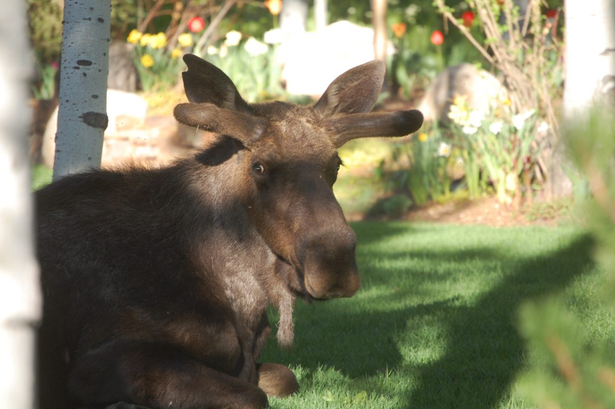 Moose taking a break in The Sanctuary neighborhood. Submitted by: Andrew Firestone