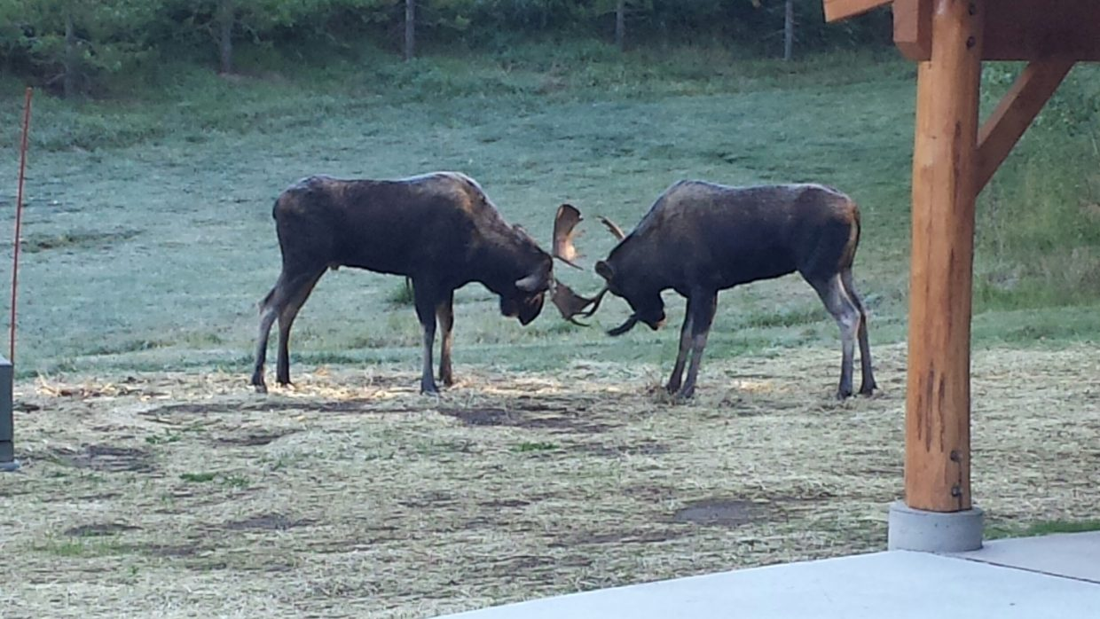 Dueling Bull Moose. Submitted by: Anne Mayberry