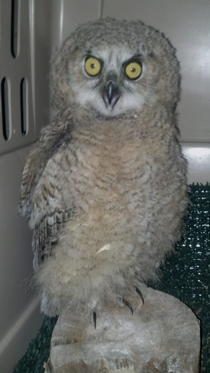 This great horned owlet is being cared for at Born Free Wildlife Rehabilitation. He came from Hayden after his sibling was found dead and he was starving. No parents in site for several days. If you find and injured or abandoned animal, call Born Free at 970-879-3747.