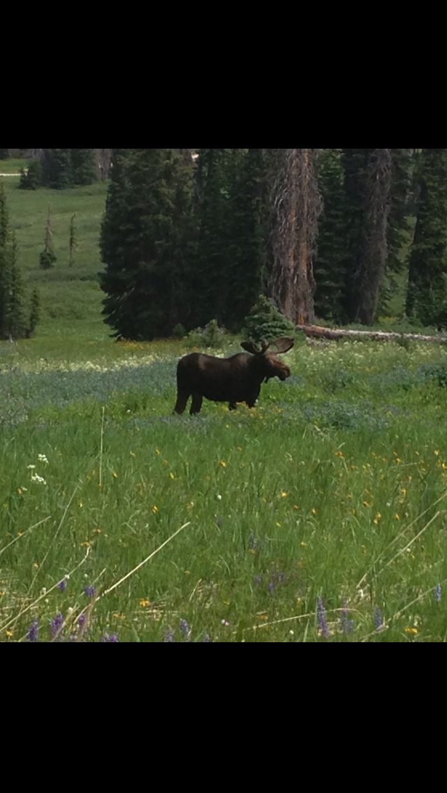 This picture of a bull moose was taken by my 16-year-old son Brandon while we were on a family hike on the Grizzly Lake Trail near Buff Pass. Submitted by: Jill Little