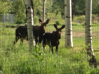 Two moose hang out on the Euzoa church property Friday evening. Submitted by: Jules Meeker