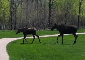 Mama and baby moose at Rollingstone. Submitted by: Mary Effinger