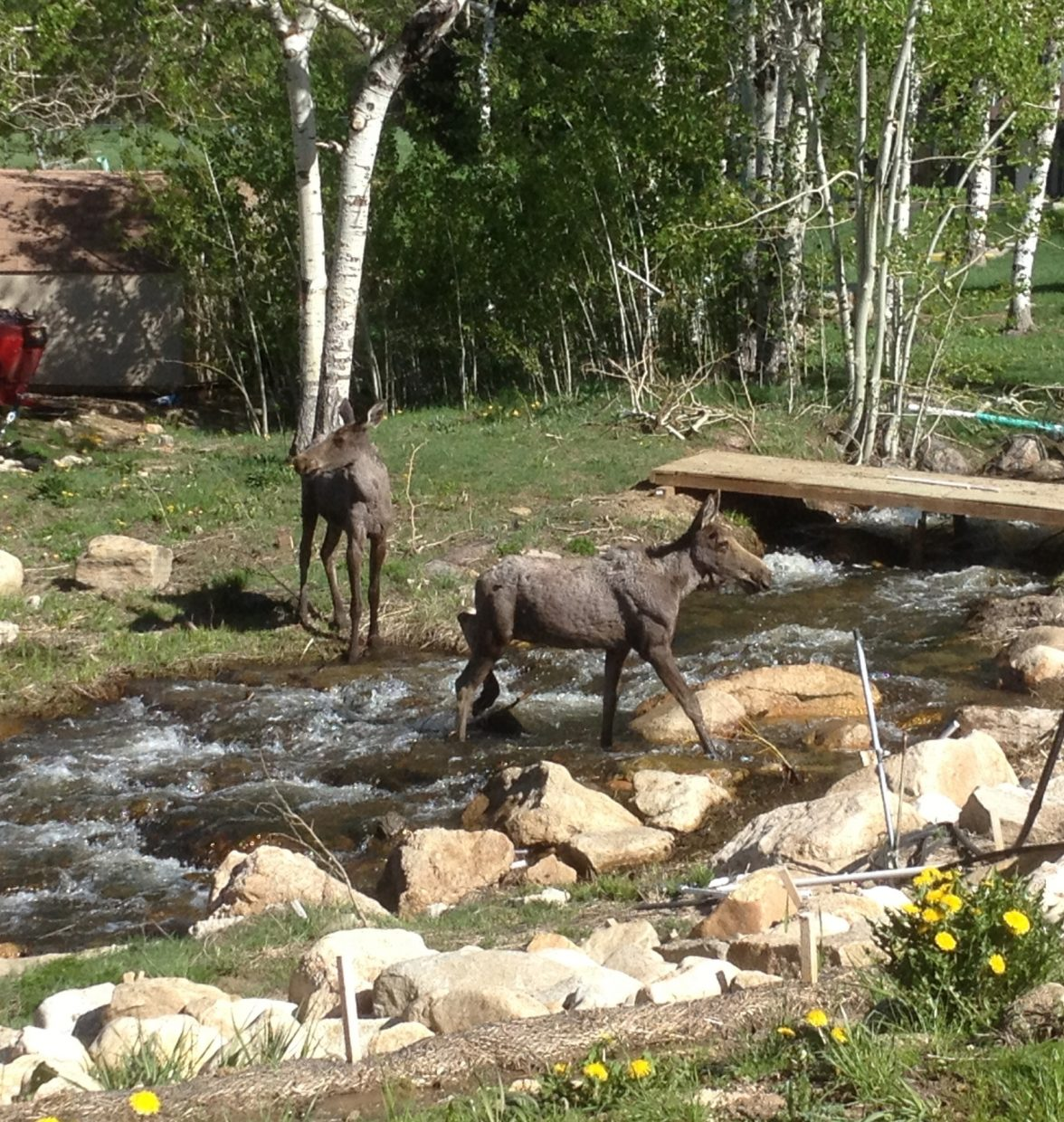 Baby moose at Ski Time Square. Submitted by: Seth Wilson