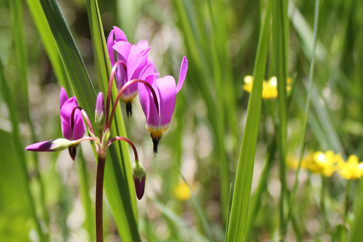 A shooting star is found on the Coulton Creek Trail. Plenty of wildflowers can be seen on local trails including the Valley View trail at Steamboat Ski Area, where you'll see just as many flowers as people who are huffing and puffing their way up the hill.