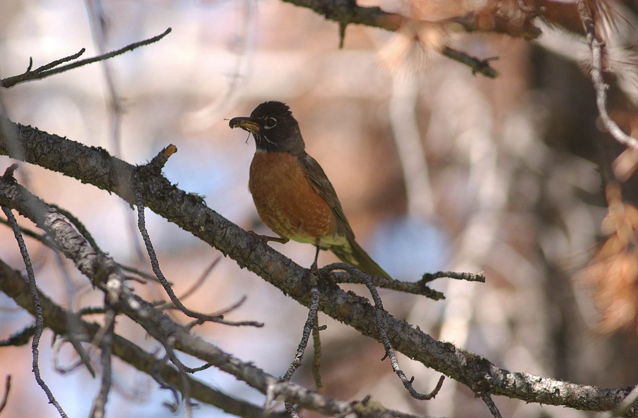 A robin sits on a dead lodgepole pine branch near Dumont Lake on Rabbit Ears Pass.