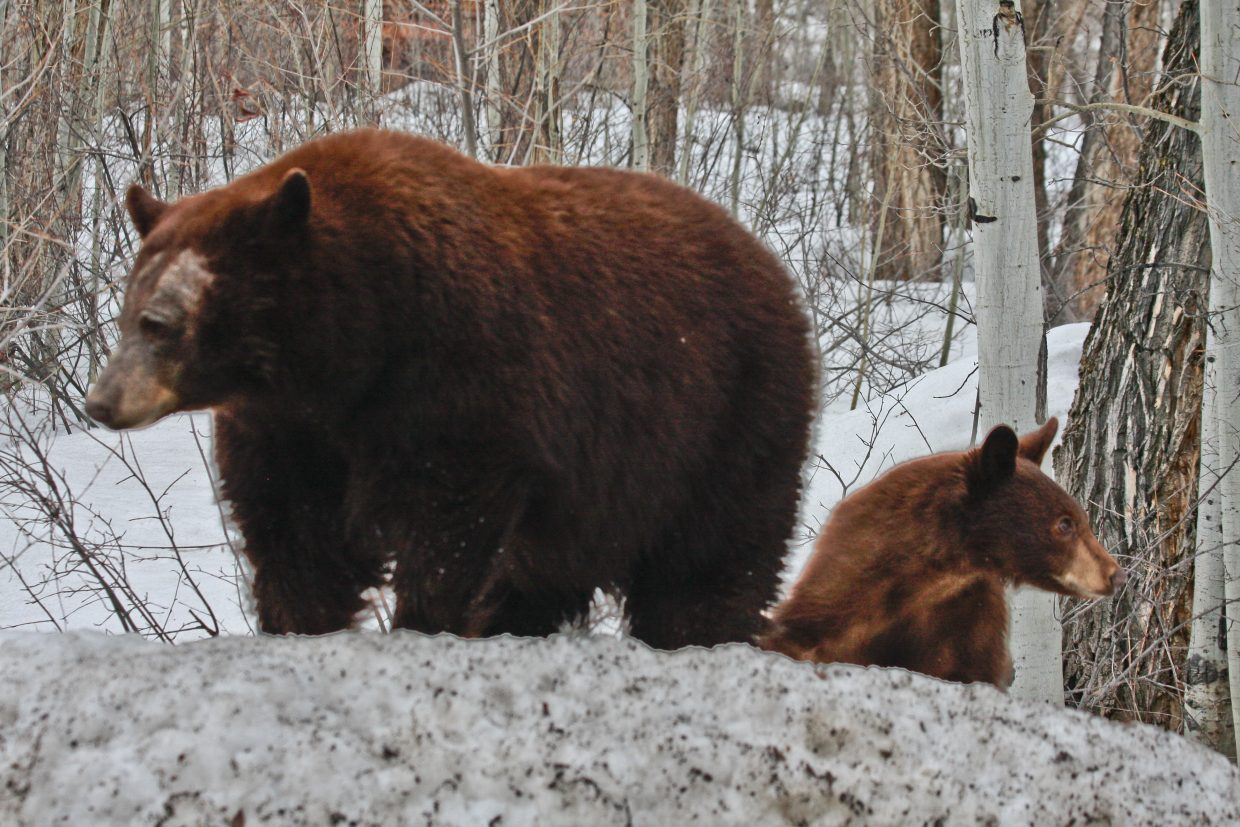 Spring has sprung at least for the bears! Submitted 3/22/11 by Claudia Morin.