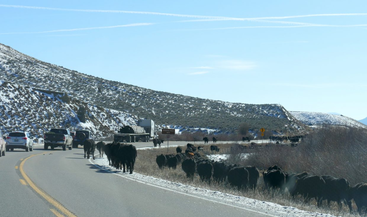 Cattle drive on Hwy 40.