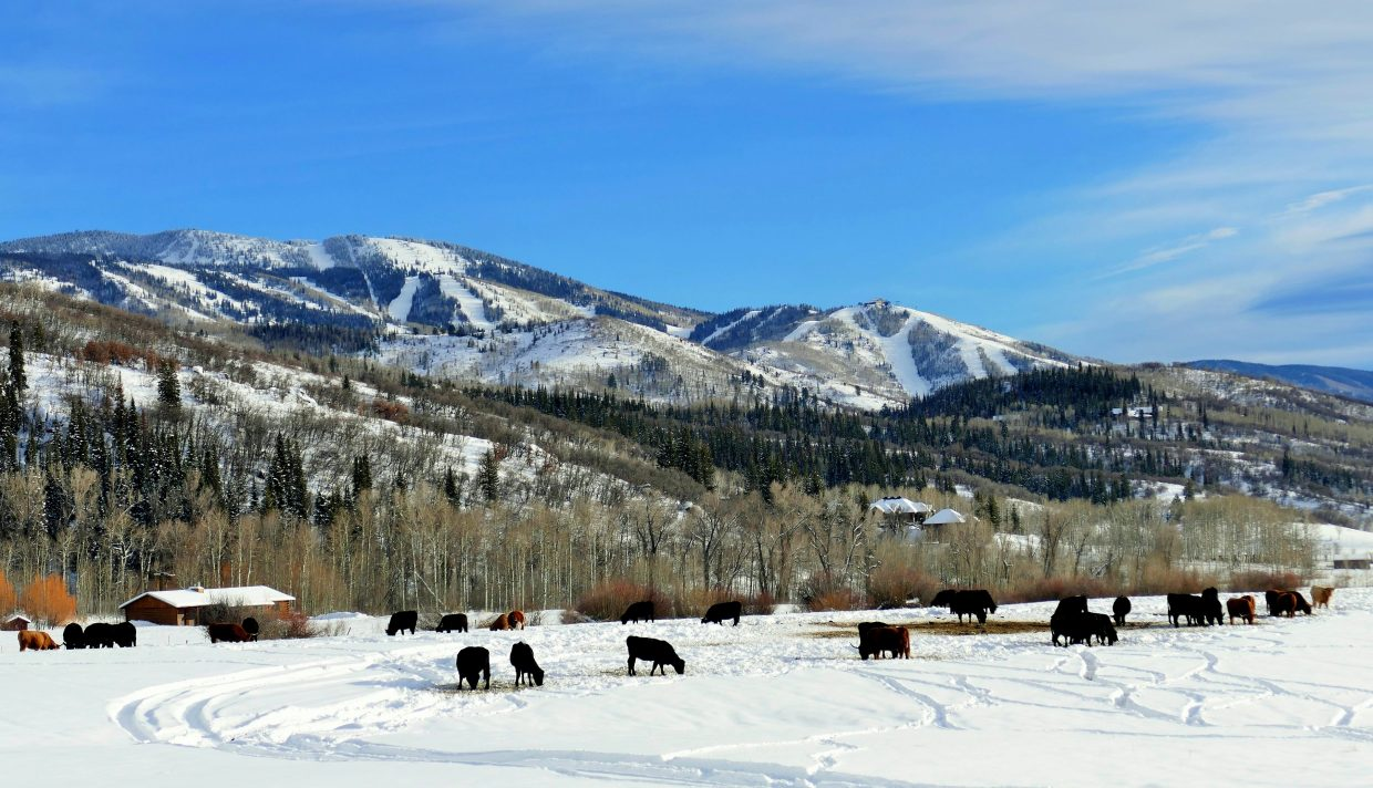 Steamboat Cows from Strawberry Park