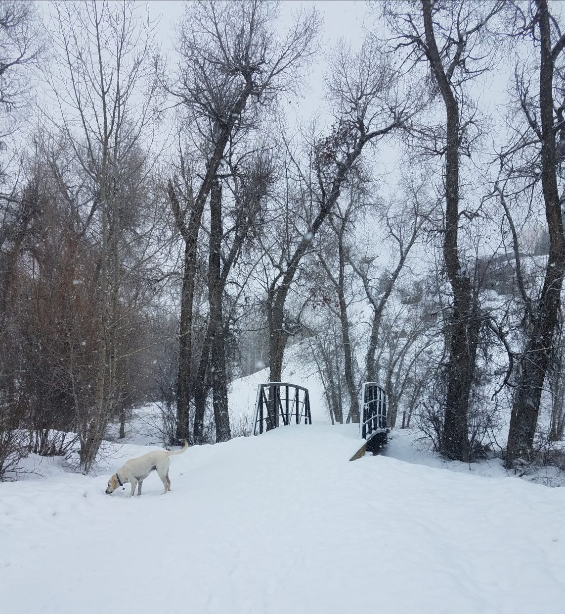 Hoover, the dog, enjoys the snow in Steamboat Springs.