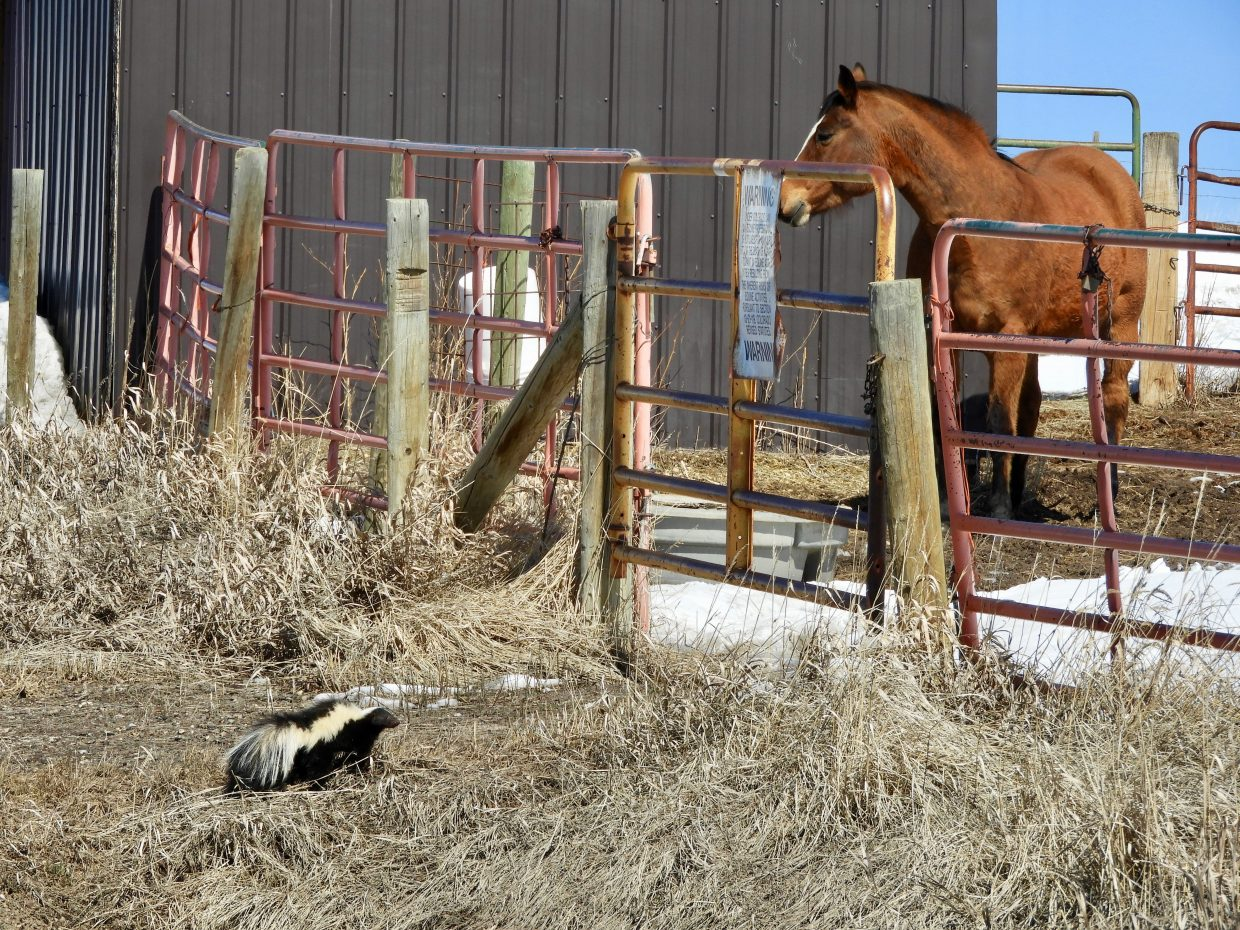 A skunk visits its best friend a horse.