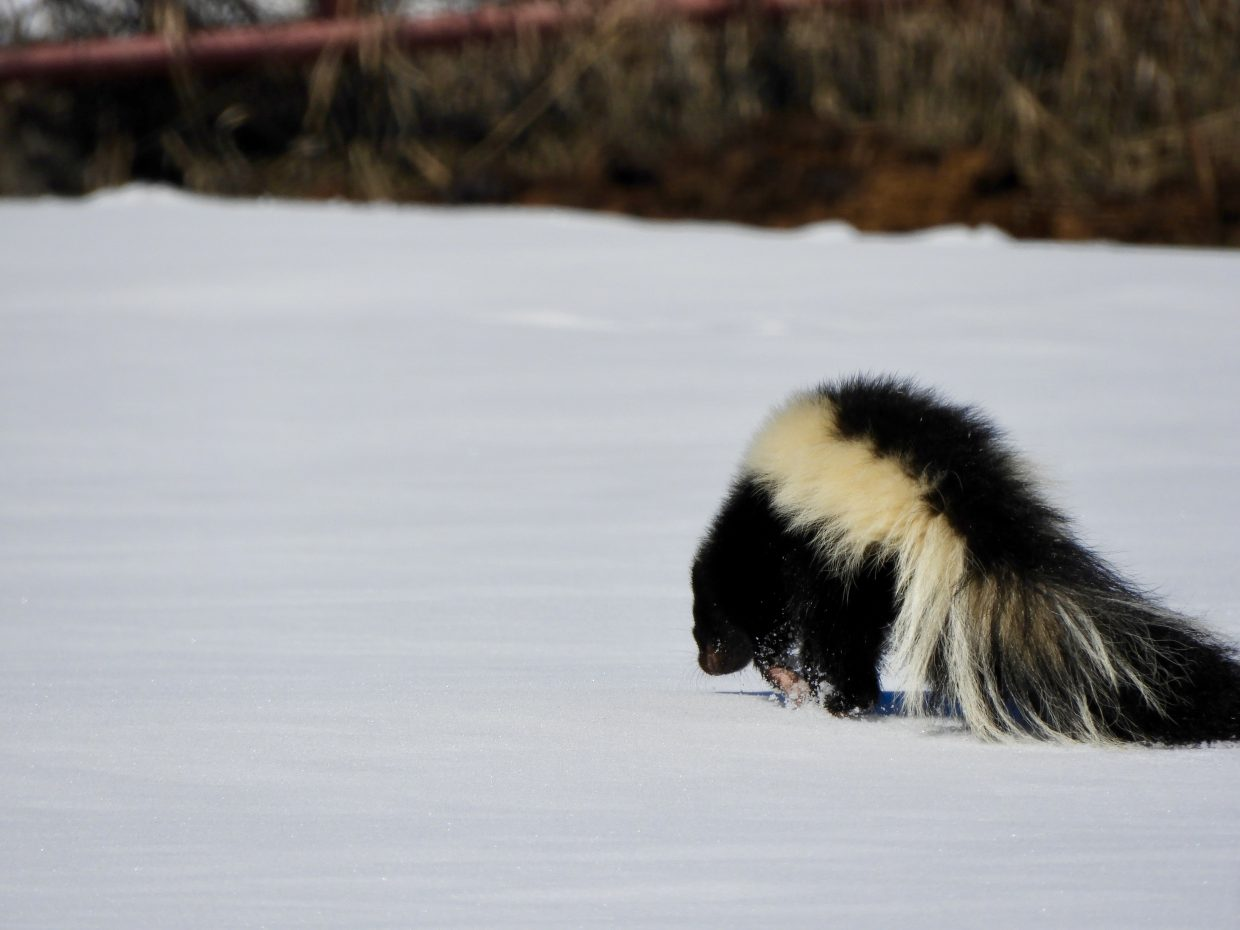 A skunk prances through the snow.