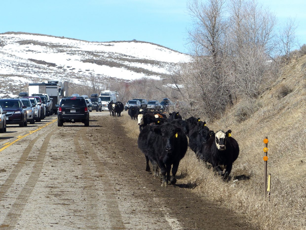 Howdy, y'all. I just drove home to Steamboat from the Front Range and dang it all if I didn't get stuck in the middle of a cattle drive on Highway 40, north of Kremmling. AGAIN. I was smack dab in the middle of it in the fall, and here I got in the middle of the cattle drive when they were headed back. I must say, it is very exciting when you have absolutely nowhere to go and several hundred head of cattle are coming straight at you, and you're in a black car, and you're hoping they don't think your car is another heifer.
