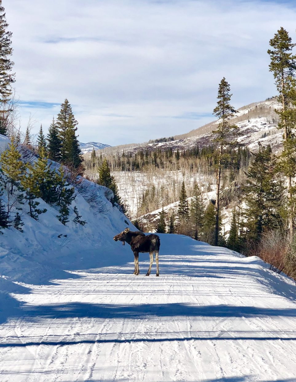 A moose appeared on Back Country Ski Way on Saturday.