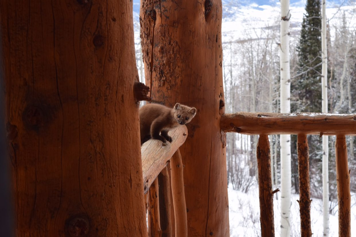 Pine Marten trying to figure out how to get to the suet feeder