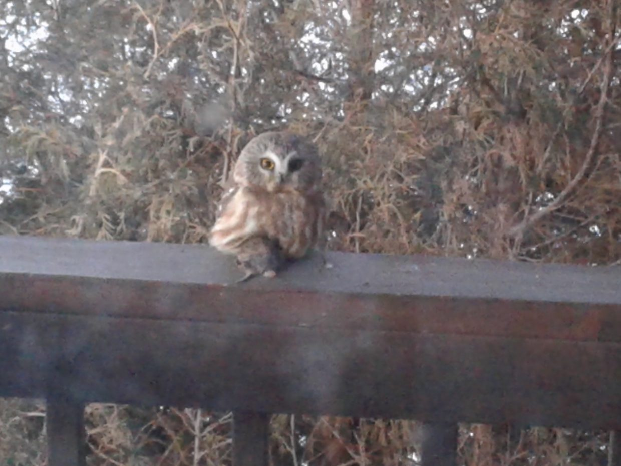 According to a birdwatching friend this is a Saw-whet owl having breakfast on my porch! A beauty about the size of a grapefruit.