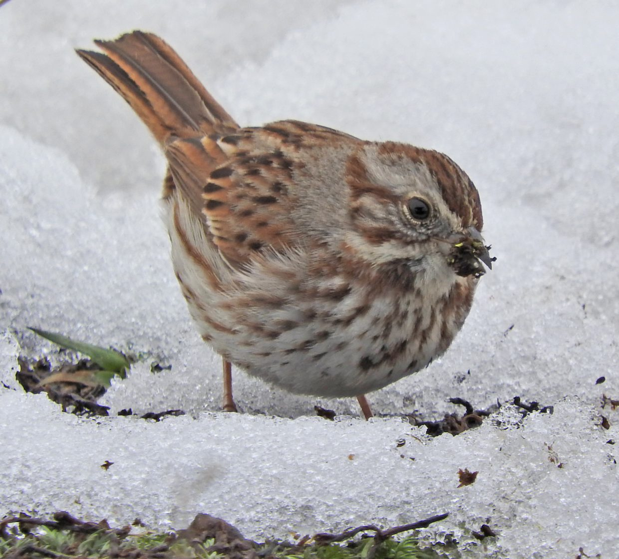 Hungry Song Sparrow finds some spring bugs to eat near Peace Pavilion.