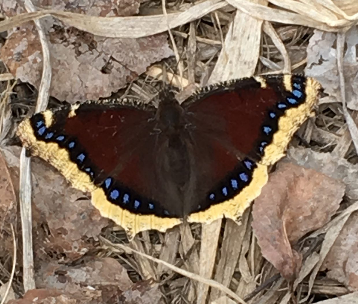 First-of-spring Mourning Cloak awakens in the Yampa Valley