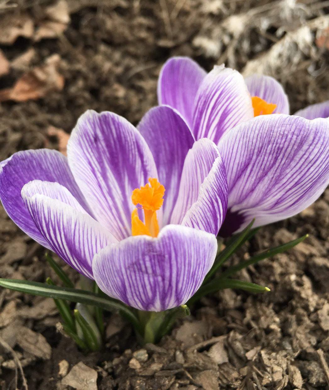 Crocuses in bloom in the Yampa Valley.