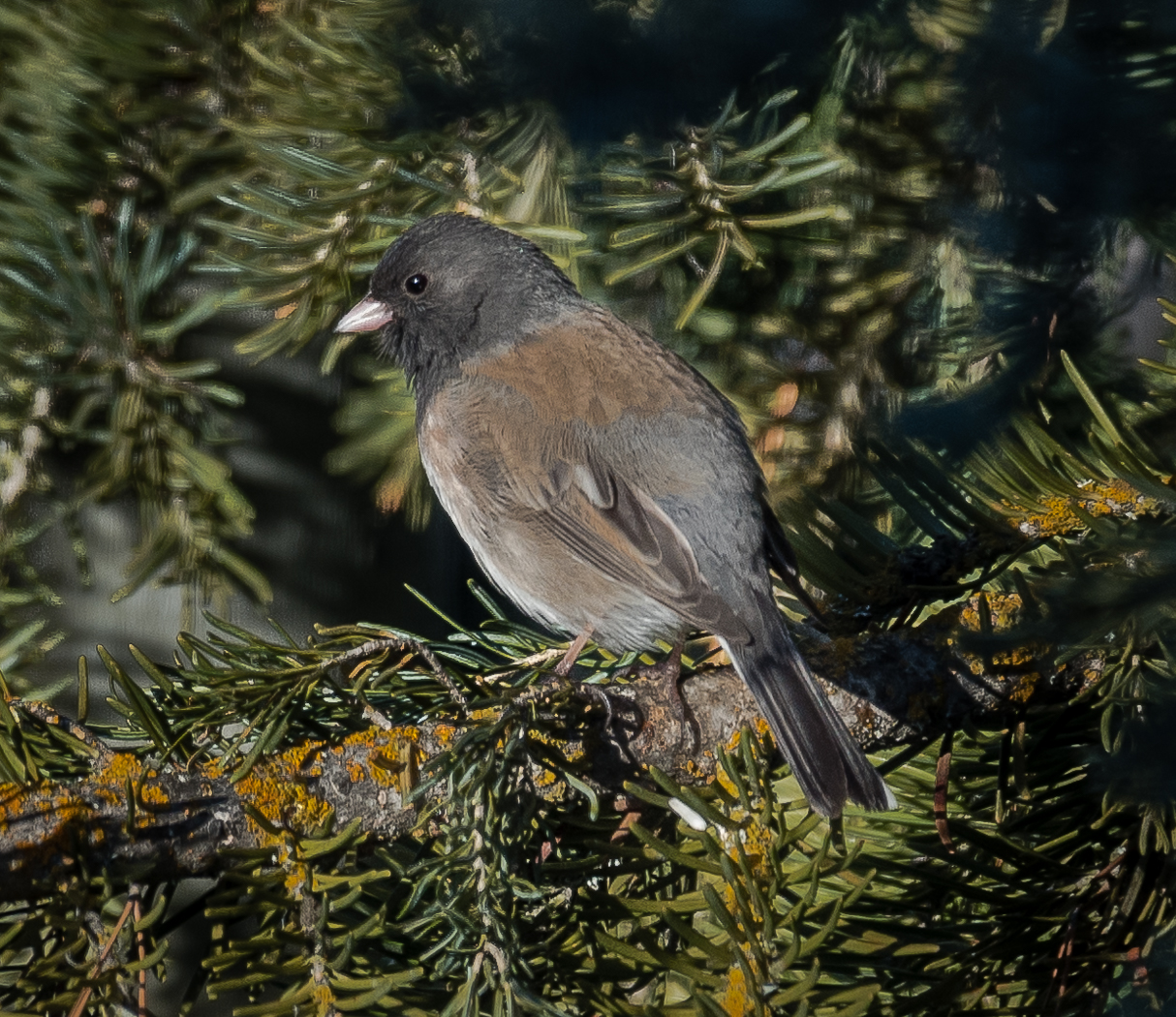A Oregon junco visits Steamboat Springs.