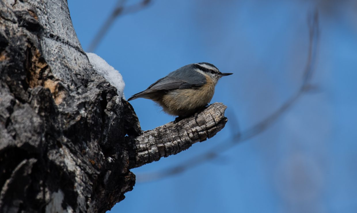 A red-breasted nuthatch visits a yard in Steamboat Springs.