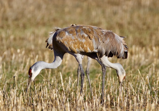 Two cranes forage for food in the grass.