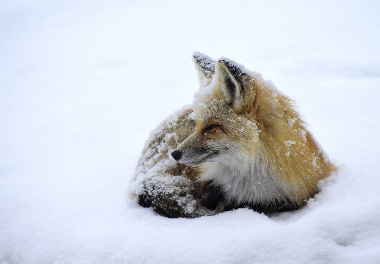A red fox outside our house in Clark. He was enjoying a nap in the snow.