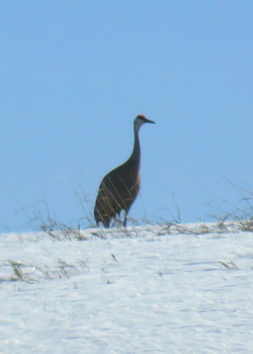 A shot of a sandhill crane on the top of a snowy hill.