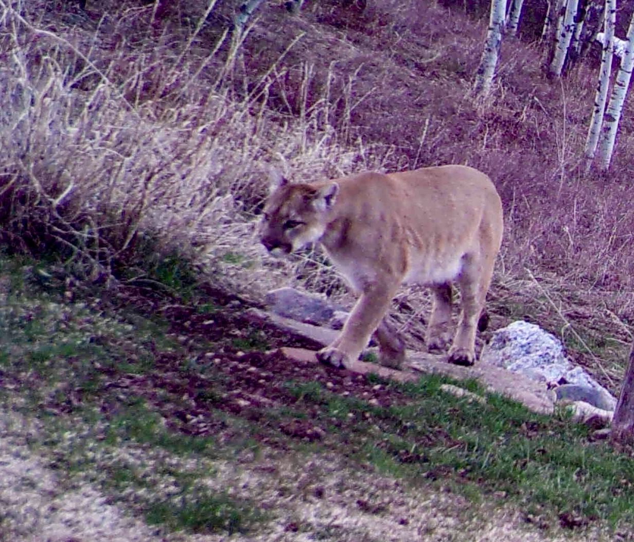 A mountain lion is seen around Soda Creek on April 19, 2018.