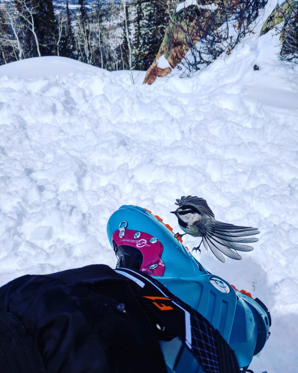 Mountain Chickadee taking a break on my Scarpa's while I took a break from skiing at Steamboat Ski Area.