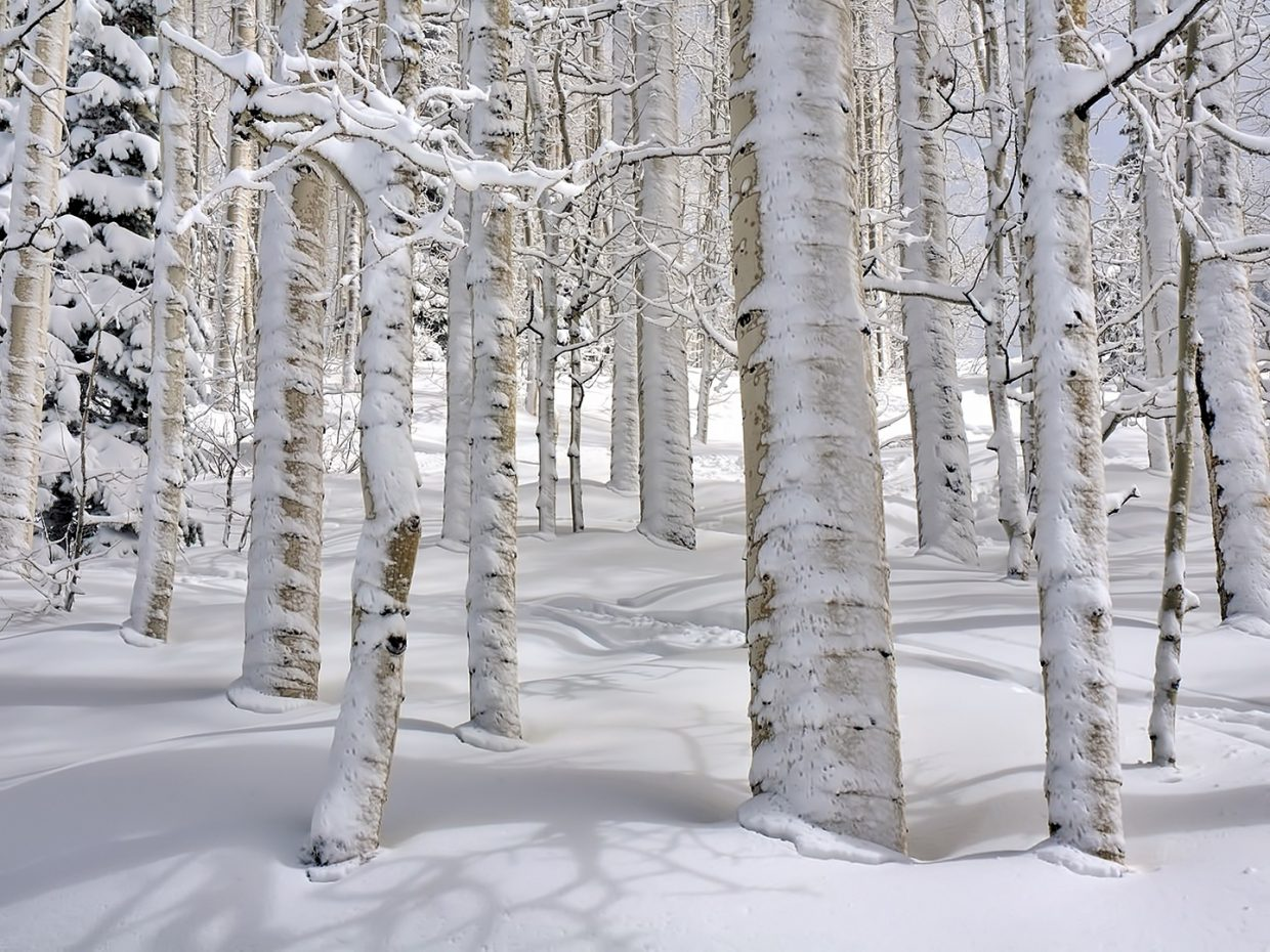 A shot of aspen trees covered in snow.